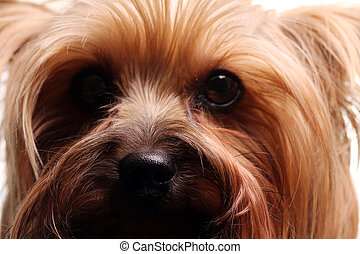 Cute yorkshire terrier over white