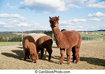 Brown Alpacas - Group of brown alpacas standing in a field