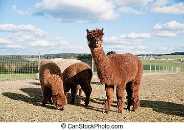 Brown Alpacas - Group of brown alpacas standing in a field