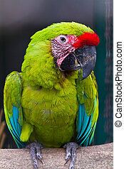 Buffons macaw - Green macaw called Buffons macaw on perch