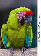Buffon's macaw - Green macaw called Buffon's macaw on perch