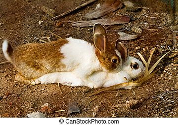 Reproduction of rabbit - Reproduction of couple rabbit on...