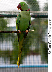 Green macaw red beak - Green macaw with red beak on perch
