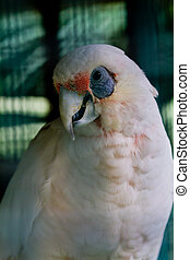 White cockatoo with  blue eye sockets