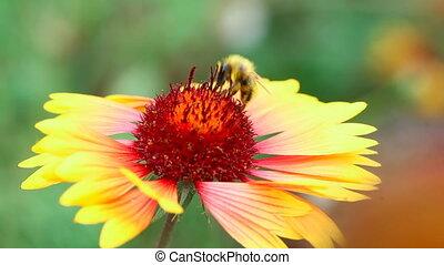 Bumblebee - Bumblebee on a flower gailardia