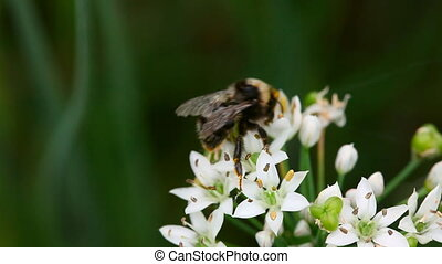 Bumblebee. - Bumblebee collecting nectar on blooming onion.