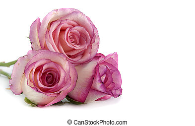 pink roses - three pin k roses on isolated background