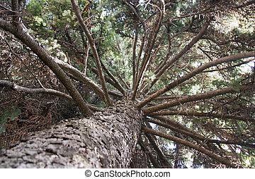 European silver fir - Portrait of a silver fir from the...