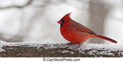 cardinal - a cardinal on a branch