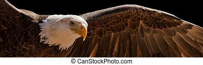 voando, águia