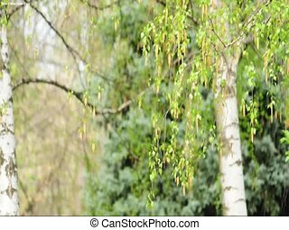 birch tree branch - betula pendula tree branch
