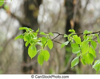 lime tree branch