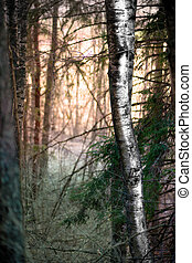 Birch tree in evening - Birch tree in magic forest with...