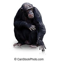 gorilla isolated on white background
