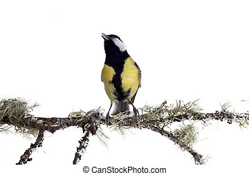 spring singer 2 - titmouse on tree branches on a white...