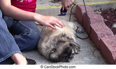 Grooming Dog - Teen girl cutting dogs hair