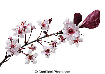 Sandcherry Flower - Sandcherry blooming flower isolated on...