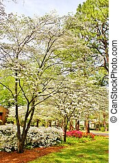 Spring Dogwoods in bloom - Spring flowers and Dogwood trees...