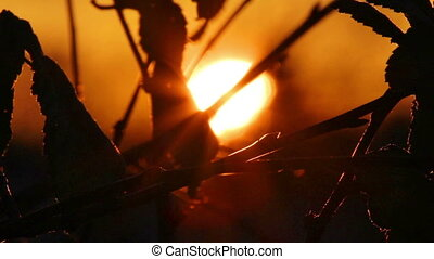 setting sun behind silhouettes of leaves