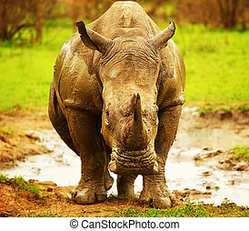 Huge South African rhino after mud bath at Kruger safari...