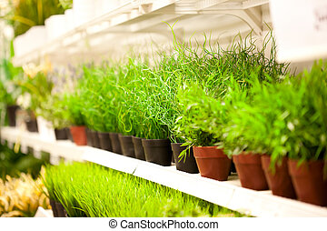 Shelf of green grass in pots at plants store