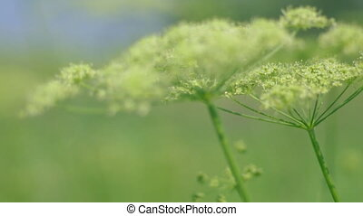 Angelica plan. Close-up  .