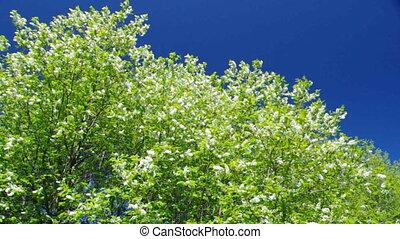 branch of bird cherry