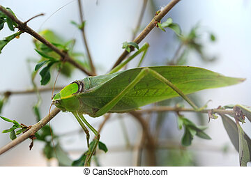Giant Katydid on a plant
