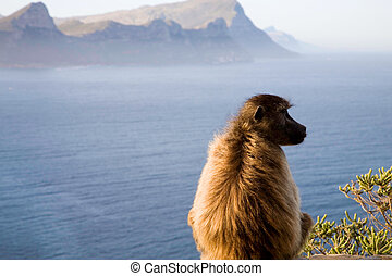Cape baboon - A baboon sitting on a rock near the coast of...