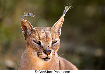 Caracal in Harnas Foundation in Namibia - Caracal