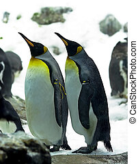 Emperor penguins Aptenodytes forsteri is the second largest...