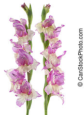 gladiolus - Studio Shot of Lilac and Yellow Colored...