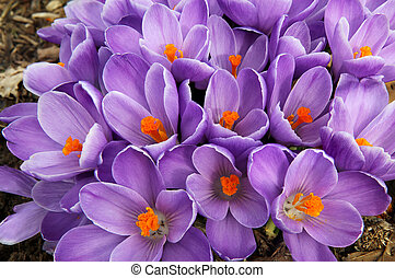 Clump of purple crocus flowers fills the frame in early...