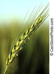 green ear of wheat - growing field of fresh green wheat