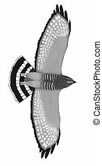 Broad-winged Hawk drawing from below (Buteo platypterus)