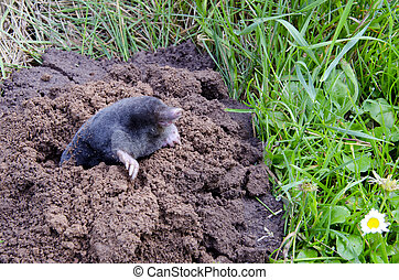 spirng mole  and molehill in the garden