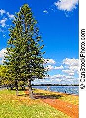 Parana pine tree, Araucaria angustifolia - Araucariaceae.HDR...
