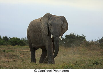A big bull elephant charges in Addo