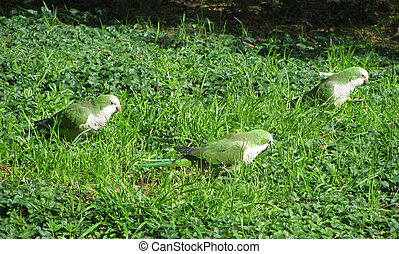Quaker Parrot (Monk Parakeet) on ground