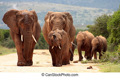A herd of elephants charge in Addo