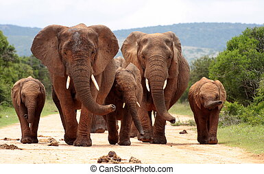 Face to face with Elephants - A herd of elephants come...