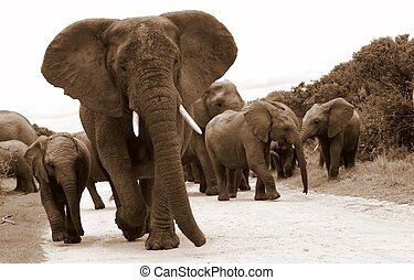 A herd of Elephants - A herd of elephants in South Africa