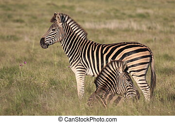 Beautiful burchell zebra in a grass