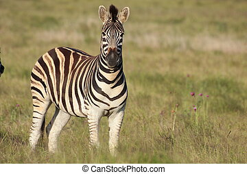 Beautiful burchell zebra - A burchell zebra standing in a...