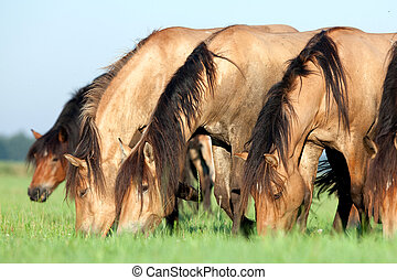 Group of horses in field. - Group of Belarus horses eating...
