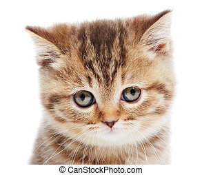 head of little British Shorthair kitten