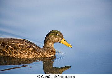 Mallard Duck - A female Mallard duck is floating in a...