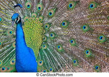 Peacock feathers - A male peacock proudly shows his colorful...