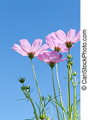 Pink Cosmos flowers with buds against blue sky