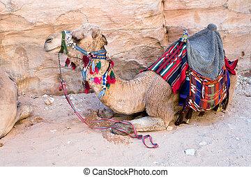 bedouin camel - one bedouin camel in Petra, Jordan